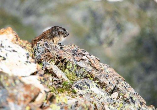 Balade aux marmottes